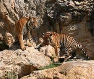 Grandi tigri sulla roccia, Tailandia Fotografia Stock Libera da Diritti