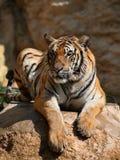 Grandi tigri sulla roccia, Tailandia, Tiger Temple Fotografie Stock