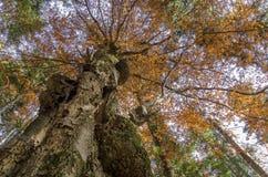Grandi tronchi di albero in autunno, visto da sotto fotografia stock libera da diritti
