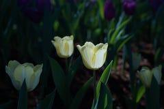 Grandi tulipani Immagini Stock Libere da Diritti