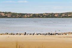 Grandi uccelli acquatici australiani del pellicano che riposano sulla spiaggia al coo fotografia stock