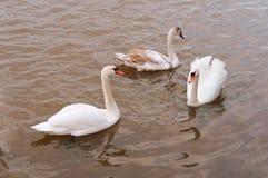 Grandi uccelli acquatici bianchi nello stagno, tre cigni nell'acqua Immagini Stock