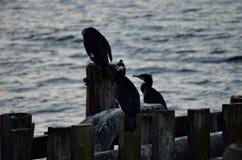 Grandi uccelli neri del cormorano Immagini Stock Libere da Diritti
