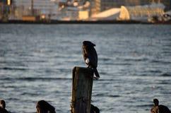 Grandi uccelli neri del cormorano Fotografia Stock