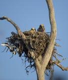 Grandi uccellini implumi del gufo cornuto Immagini Stock