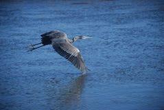 Grandi voli dell'airone blu sopra l'orizzontale del fiume immagini stock