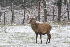Grandi wapiti nella prima tempesta della neve di inverno Immagine Stock