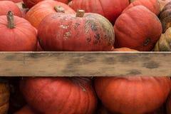 Grandi zucche arancio Fotografia Stock