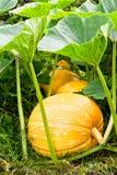 Grandi zucche arancio che crescono nel campo Immagini Stock Libere da Diritti
