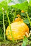 Grandi zucche arancio che crescono nel giardino Fotografie Stock