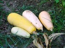 Grandi zucche dello zucchini Immagine Stock Libera da Diritti