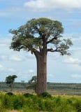 Grandidier's baobab. (Adansonia grandidieri) on South of Madagascar Stock Photo