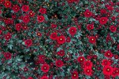 Grandifflora de Dendranthemum une usine en forme de fleur avec des couleurs lumineuses faciles Et il y a beaucoup de variétés à c Image stock