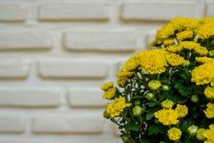 Grandifflora Dendranthemum на белой предпосылке Стоковое Изображение