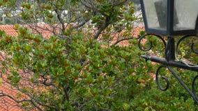 Grandiflora δέντρο Magnolia Χλωρίδα στο Μαυροβούνιο απόθεμα βίντεο