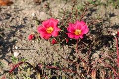 Grandiflora λουλούδια Portulaca Στοκ Φωτογραφίες