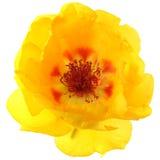 Grandiflora imagen de archivo libre de regalías