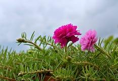 Grandiflora Fotografia Stock Libera da Diritti