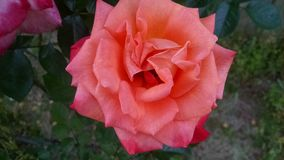 Grandiflora Arizone nam toe Stock Afbeelding