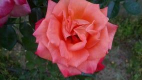 Grandiflora Arizone steg Fotografering för Bildbyråer