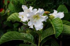 Grandiflora Beaumontia arkivfoto