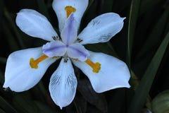 Grandiflora Dietes, stor lös iris, felik iris Royaltyfri Bild