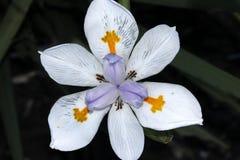 Grandiflora Dietes, stor lös iris, felik iris Arkivfoto