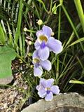 Grandiflora eller Bengal clockvine eller Bengal trumpet eller blåttskyflower eller blåttthunbergia eller blåtttrumpetvine eller S Royaltyfria Foton