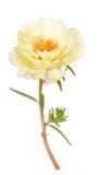 Grandiflora flower Stock Image