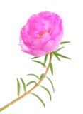 Grandiflora flower Royalty Free Stock Image