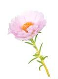 Grandiflora flower Royalty Free Stock Images