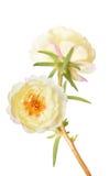 Grandiflora flower Royalty Free Stock Photo
