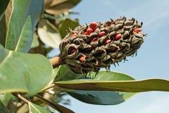 Grandiflora fruit en zaden van magnolia Royalty-vrije Stock Fotografie