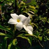 Grandiflora Jasminun Arkivbilder