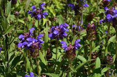 Grandiflora lilablomma för Prunella fotografering för bildbyråer