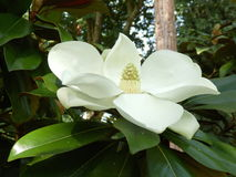 Grandiflora magnolia Arkivbild