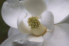grandiflora magnolia Royalty-vrije Stock Foto