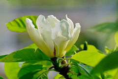 grandiflora magnolia Royaltyfria Foton