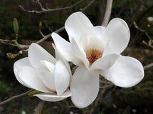 grandiflora magnolia för blomning fotografering för bildbyråer