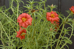 grandiflora portulaca Стоковые Фотографии RF