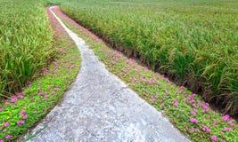 Grandiflora Portulaca stock afbeeldingen