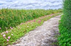 Grandiflora Portulaca stock fotografie