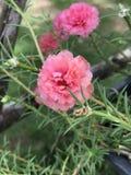 Grandiflora Portulaca of het Mos nam toe of de Zon nam of de Tijdbloem toe Royalty-vrije Stock Afbeelding