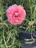 Grandiflora Portulaca of het Mos nam toe of de Zon nam of de Tijdbloem toe Stock Fotografie