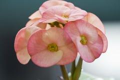 Grandiflora Portulaca, `-klocka för nolla elva, `-klocka för nolla tio Royaltyfri Foto