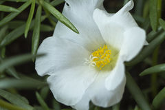 Grandiflora Portulaca, `-klocka för nolla elva, `-klocka för nolla tio Fotografering för Bildbyråer