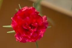 Grandiflora Portulaca, `-klocka för nolla elva, `-klocka för nolla tio Royaltyfria Foton