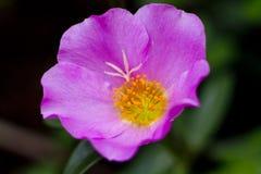 Grandiflora Portulaca, `-klocka för nolla elva, `-klocka för nolla tio Royaltyfria Bilder
