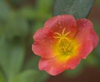 Grandiflora Portulaca, `-klocka för nolla elva, `-klocka för nolla tio Royaltyfri Bild