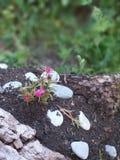 Grandiflora Portulaca, succulent stock foto's